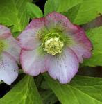 Christrose Lenzrose Pink Lady - Helleborus orientalis