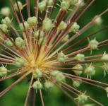 Igelkolben Lauch - Allium schubertii