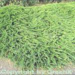 Tamarisken Wacholder 25-30cm - Juniperus Sabina