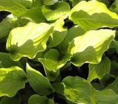 Schmalblattfunkie Weihenstephan - Hosta Hybrid