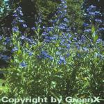 Ochsenzunge - Anchusa azurea