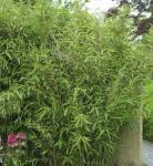 Gartenbambus Superjumbo 60-80cm - Fargesia murielae