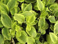 Kaukasus Beinwell Goldsmith - Symphytum grandiflorum