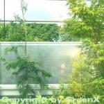 Sicheltanne Rasen 40-60cm - Cryptomeria japonica