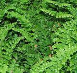 Wurmfarn Linearis - Dryopteris filix mas