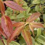 Traubenheide Carinella 60-80cm - Leucothoe walteri