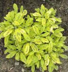 Echter Salbei Aurea - Salvia officinalis
