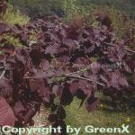 Großfrüchtige Waldhasel Rotblättrige Zellernuss 100-125cm - Corylus avellana