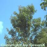 Roter Rocky Mountain Ahorn 80-100cm - Acer glabrum