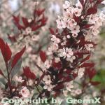 Hochstamm Zwergblutpflaume 40-60cm - Prunus cistena