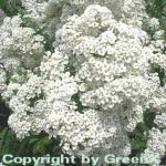 Strauch Prachtspiere 40-60cm - Spiraea vanhouttii