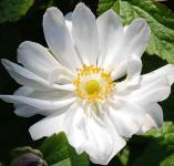 Herbstanemone Andrea Atkinson - Anemone japonica