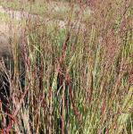 Rutenhirse Heiliger Hain - großer Topf - Panicum virgatum