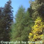 Faden Thuja Filiformi 25-30cm - Thuja occidentalis