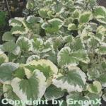 Kaukasus Vergißmeinnicht Variegata - Brunnera macrophylla