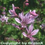 Brennender Busch - Dictamnus albus