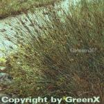 Blaugrüne Binse - Juncus inflexus