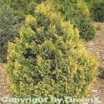 Gelbe Mooszypresse Plumosa Aurea 50-60cm - Chamaecyparis pisifera