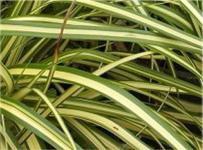 Gelb gestreifte Segge - Carex morrowii