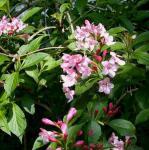 Liebliche Weigelie 60-80cm - Weigela florida