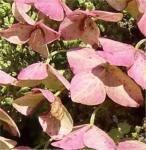 Eichenblättrige Hortensie Alice 30-40cm - Hydrangea quercifolia