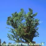 Hahnenkamm Sicheltanne Cristata 60-80cm - Cryptomeria japonica