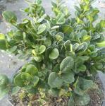 Buchsbaum Rotundifolia 20-25cm - Buxus sempervirens