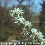 Echte Felsenbirne 60-80cm - Amelanchier rotundifolia