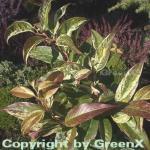 Buntblättrige Traubenheide Rainbow 60-80cm - Leucothoe walteri