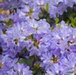 Wild - Rhododendron Russautinii 20-25cm - Rhododendron augustinii