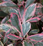 Glanzmispeln Pink Marble 40-60cm - Photinia fraseri