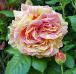 Malerrose Paul Cezanne® 30-60cm