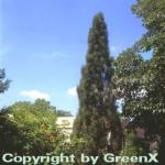 Schwarzkiefer Green Tower 30-40cm - Pinus nigra