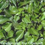 Kaukasischer Strauch Efeu 30-40cm - Hedera colchica Arborescens