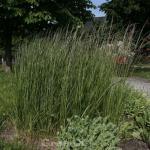 Reitgras Avalanche - Calamagrostis acutiflora