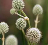 Palmlilien Edeldistel - Eryngium yuccifolium