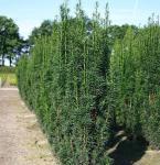 Säuleneibe Sibirica 70-80cm - Taxus baccata