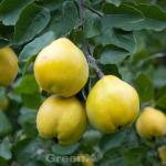 Apfel Quitte Cydopom 60-80cm - Cydonia oblonga