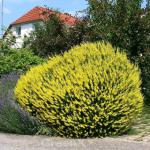 Purgierginster 15-20cm - Cytisus purgans
