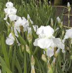 Schwertlilie Immortality - Iris barbata