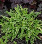 Breite Blattsegge Island Brocade - Carex siderosticha