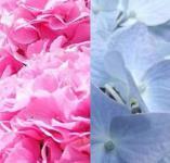 Bauernhortensie in Farbsorten gemischt 30-40cm - Hydrangea macrophylla