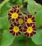 Himmelschlüssel Gold Lace Red - Primula elatior