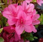 Japanische Azalee Rubinetta 15-20cm - Rhododendron obtusum - Zwerg Alpenrose