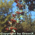 Eingriffeliger Weißdorn 80-100cm - Crataegus monogyna