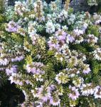 10x Winterheide Westwood Yellow - Erica carnea