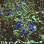 Garten Salbei - Salvia patens