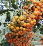Mährische Eberesche Autumn Spire® 80-100cm - Sorbus aucuparia