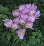 Herbstzeitlose Lilac Wonder - Colchicum Hybrid