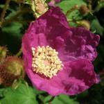 Zimthimbeere - Rubus odoratus